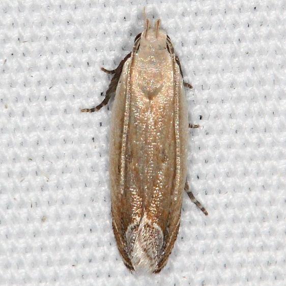 2245 Anacampsis paltodoriella Campsite 119 Falcon St Pk Texas 10-28-16_opt