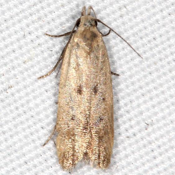 2248 Anacampsis rhoifructella tentative worn Campsite 119 Falcon St Pk Texas 10-27-16_opt
