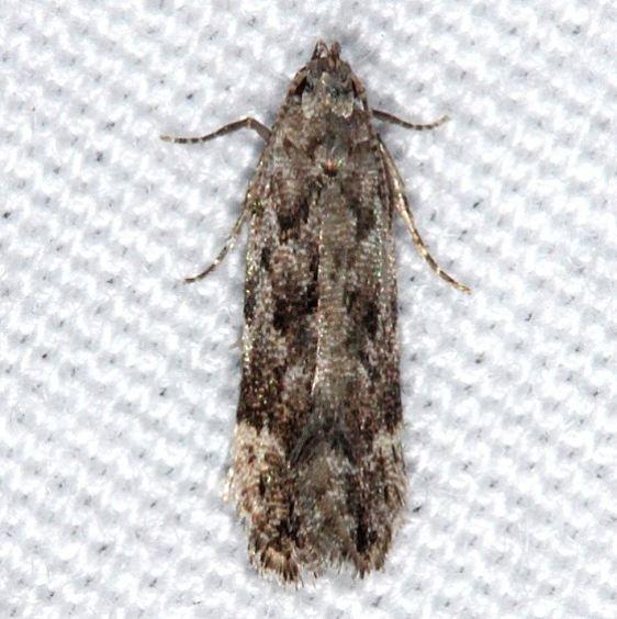 2251.96 Anacampsis New Species Faver-Dykes St Pk Fl 2-22-15