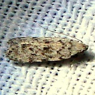2251.96 Anacamsis New Species Payne's Prairie St Park 3-20-12