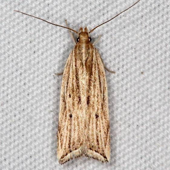 2268 Lanceolate Helcystogramma Moth yard 6-10-15
