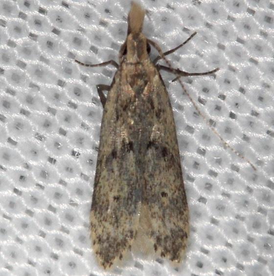 2288 Many-spotted Dichomeris Moth Shawnee St Pk Oh 6-15-13