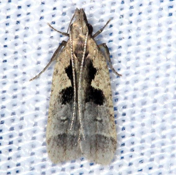 2302.1 Dichomeris vindex Moth yard 8-11-13