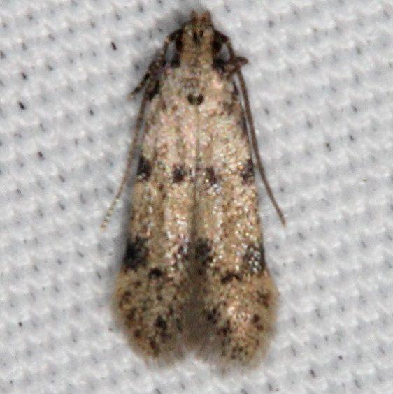 2311.99 BG Unidentified Gelechiid Moth Johathan Dickinson St Pk Fl 3-8-17_opt