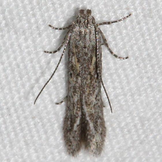 2311.99 Unidentifed Gelechiid Moth BG Mueller St Pk Colorado 6-19-17 (37)_opt