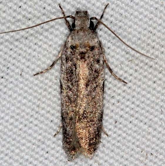 2311.99 Unidentified Gelechiid Moth BG Campsite 119 Falcon St Pk Texas 10-28-16 (40)_opt