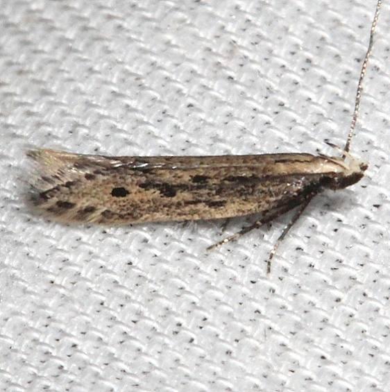2311.99 Unidentified Gelechiid Moth BG Kissimmee Prairie St Pk 3-12-13 (14)_opt