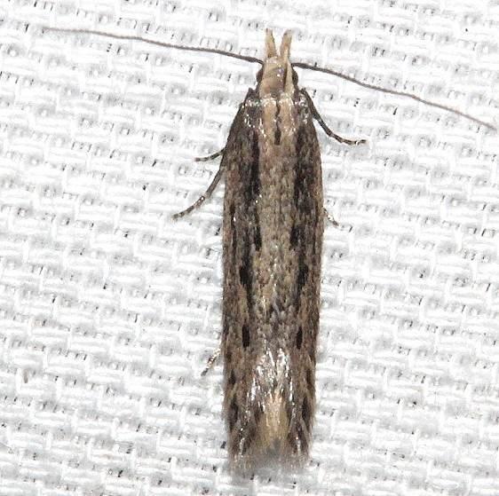2311.99 Unidentified Gelechiid Moth BG Kissimmee Prairie St Pk 3-12-13 (16)_opt