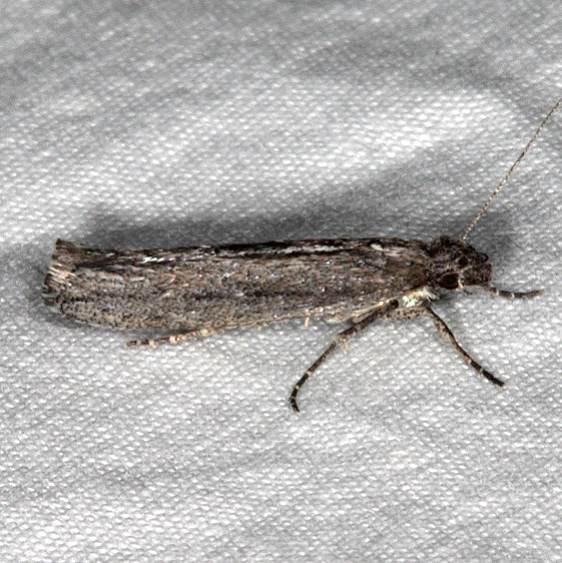 2311.99 Unidentified Gelechiid Moth BG Pine Lake campground Dixie Natl Forest Utah 6-2-17 (10)_opt