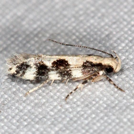 2311.99 Unidentified Gelechiid Moth Campsite 119 BG Falcon St Pk Texas 10-27-16 (3)_opt