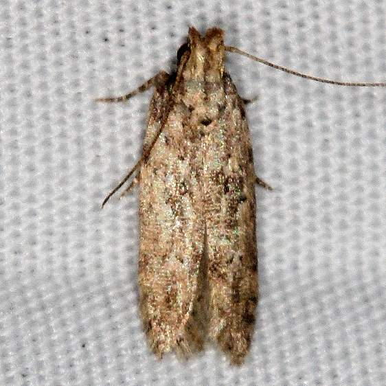 2311.99 Unidentified Gelechiid Moth BG Campsite 119 Falcon St Pk Texas BG 10-22-16 (16)_opt