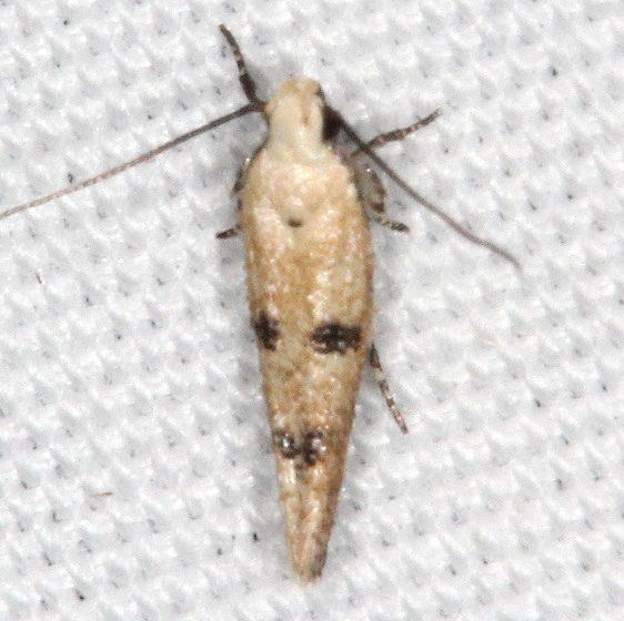 2311.99 Unidentified Gelechiid Moth Campsite 119 Falcon St Pk BG 10-22-16 (3)_opt