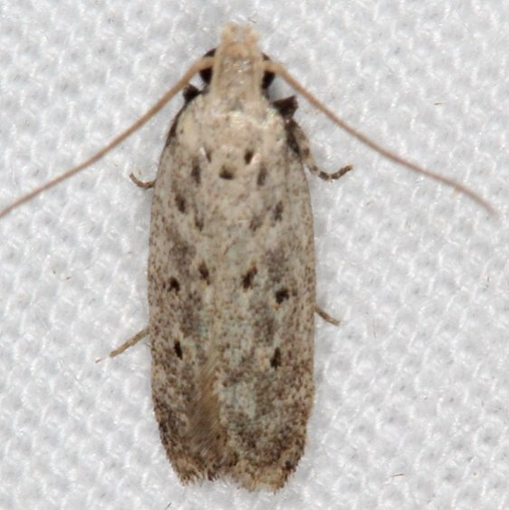 2311.99 Unidentified Gelechiid Moth Campsite 119 Falcon St Pk Texas BG 10-25-16 (5)_opt