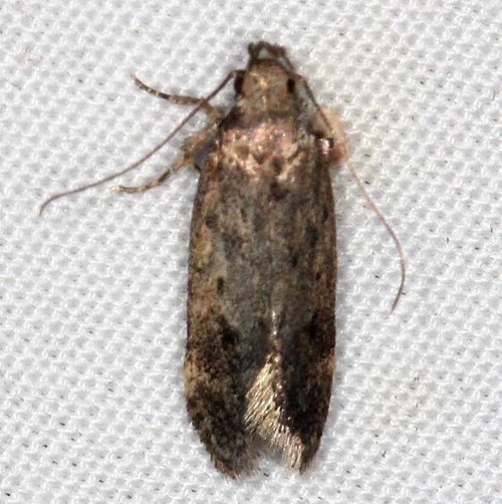 2311.99 Unidentified Gelechiid Moth Campsite 119 Falcon St Pk Texas BG 10-26-16 (1)_opt
