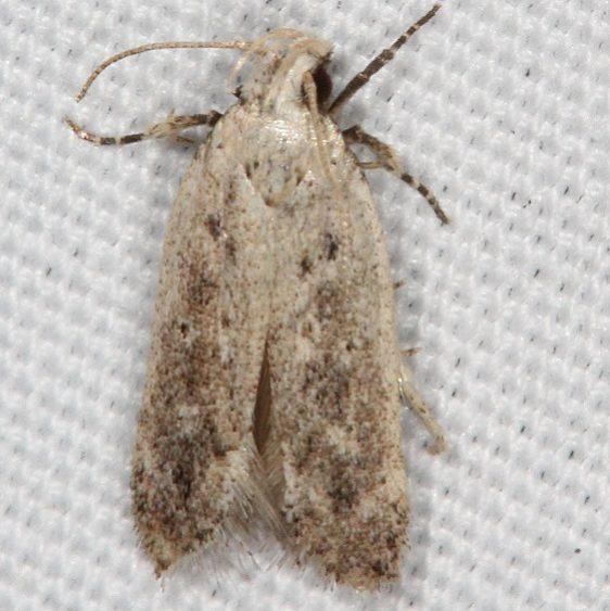 2311.99 Unidentified Gelechiid Moth Campsite 119 Falcon St Pk texas BG 10-22-16 (2)_opt