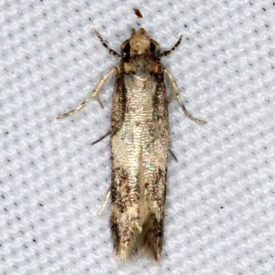 2311.99 Unidentified Gelechiid Moth Jenny Wiley St Pk Ky 4-19-16 (1)_opt