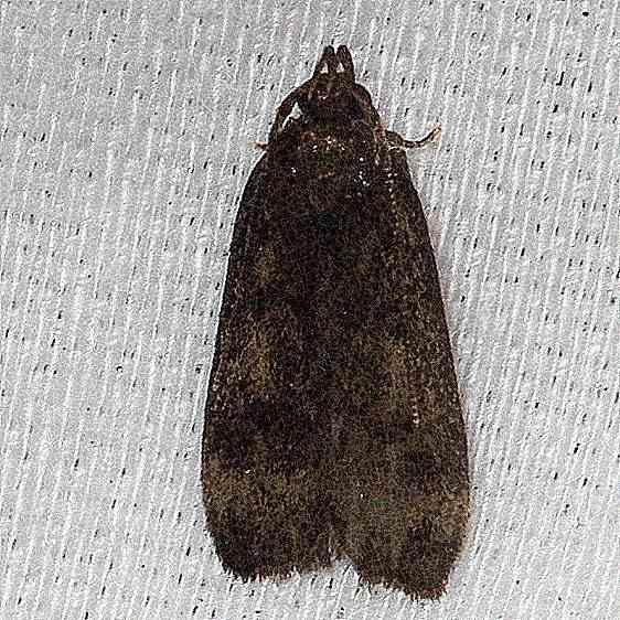 2311.99 Unidentified Gelechiid Moth Little Talbot Island St Pk 2-21-13