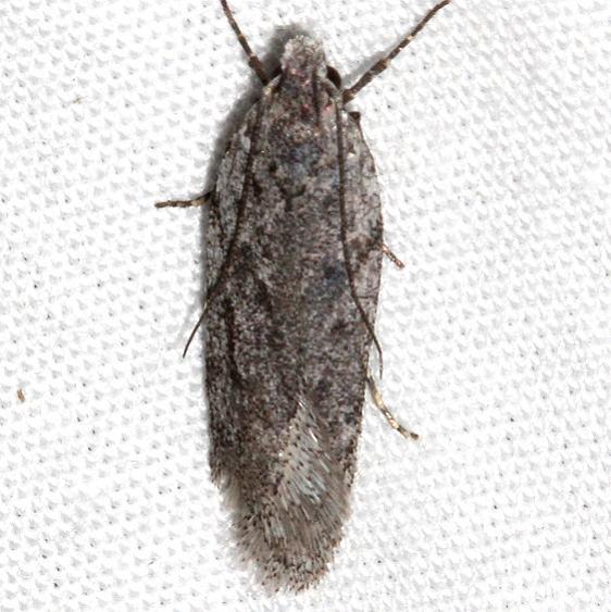 2311.99 Unidentified BG Gelechiid Moth Golden Gate St Pk Colorado 6-26-17 (49)_opt