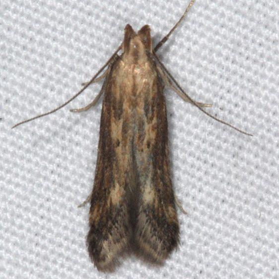 1685 Burdock Seedhead Moth yard 7-11-15