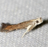 1702 Isophrictis similiella yard 6-16-12