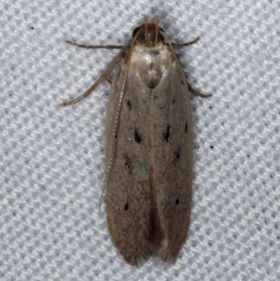 1716 Monochroa quinquepunctella Pineland Everglades Fl 2-26-15