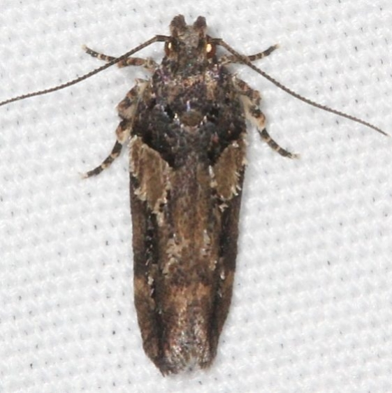 1783 Lesser Bud Moth Campsite 119 Falcon St Pk 10-22-16_opt