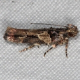 1783 Lesser Bud Moth Campsite 119Falcon St Pk Texas 10-23-16 (1)_opt