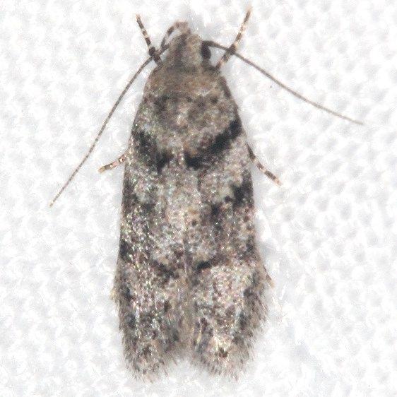 1792 Coleotechnites atrupictella Mothapalooza Shawnee St Forest Oh 7-7-17 (120)_opt