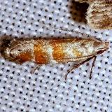 1799 Chilcott's Coleotechnites Moth yard 5-24-12
