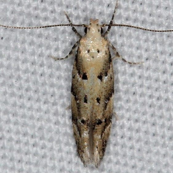 1803 Conifer Coleotechnites Moth yard 7-9-14