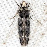 1833.97 Unidentified Coleotechnites Moth yard 6-5-13