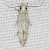 1833.97 Unidentified Coloetechnites Moth BG Campsite 119 Falcon St Pk Texas 10-28-16_opt