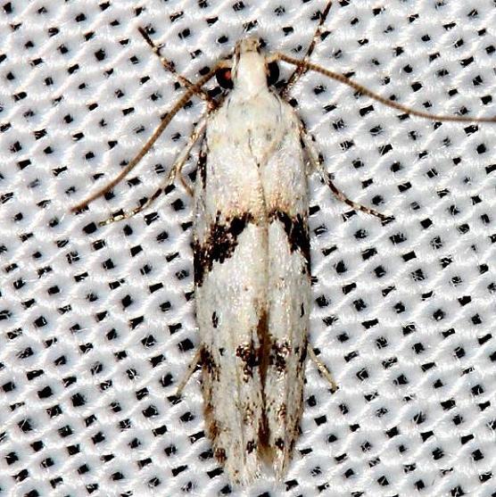 1851 Stripe-backed Moth Carter Cave St Pk Ky 4-23-13
