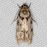 1868 Pseudotelphusa basifasciella Jenny Wiley St Pk Ky 4-20-16_opt