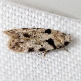 1874 Pseudotelphusa quercinigracella Little Talbot Island State Park Fl 2-19-13