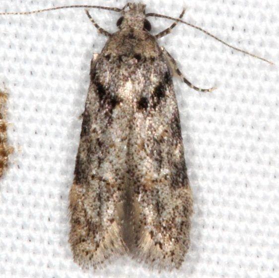 1874 Pseudotelphusa quercinigracella yard 4-26-17_opt
