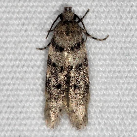1874.97 Unidentified Pseudotelphusa Moth Thunder Lake UP Mich 6-23-14
