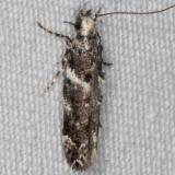 1881 Crepuscular Rock-rose Moth yard 7-14-15