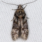 1882 Teleiopsis baldiana photo matches range doesn't Jenny Wiley St Pk 4-20-16
