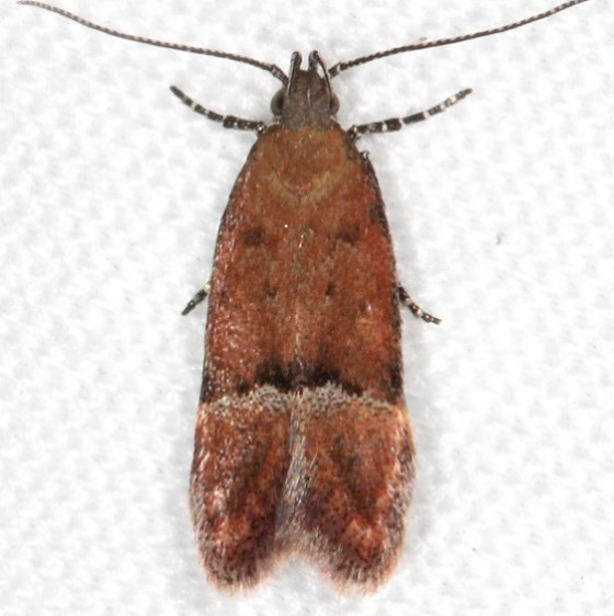 1913 Eudactylota iobapta Campsite 119Falcon St Pk Texas 10-23-16_opt