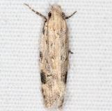 1916 Mesquite Webworm Moth Campsite 119 Falcon St Pk Texas 10-26-16_opt