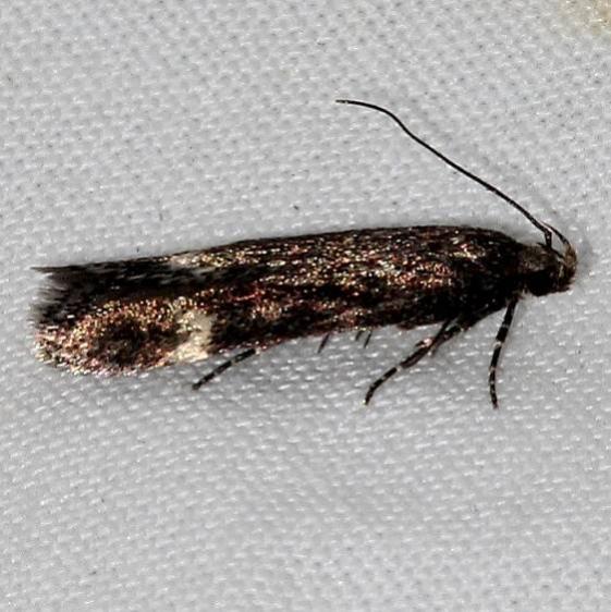 1923 Bryotropha similis tentative Rocky Mtn Natl Pk Colorado 6-24-17 (21)_opt