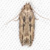 1962 Juniper Gelechid Moth BG Campsite 119 Falcon St Pk Texas 10-27-16_opt
