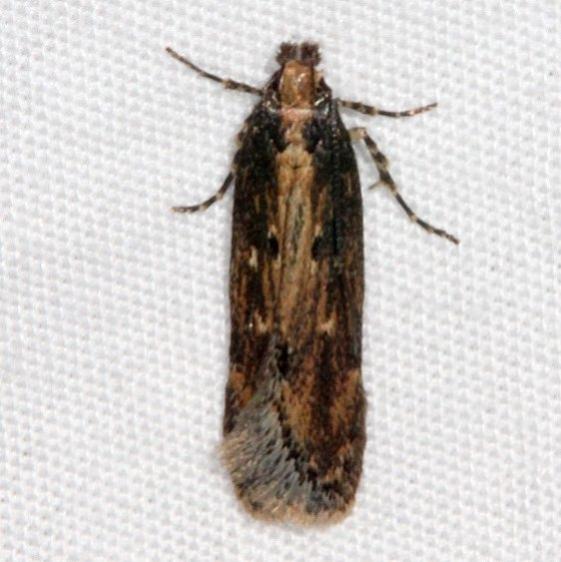 1962 Juniper Gelechiid Moth Pine Lake Dixie Natl Forest Utah 5-31-17 (23)_opt