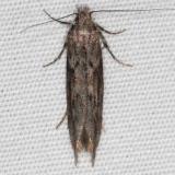 1986 Goldenrod Gall Moth yard Orient Oh 11-4-15