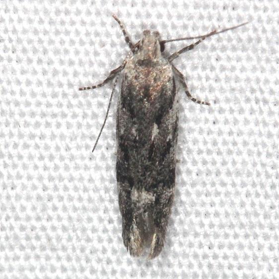 2042.97 Unidentified Caryocolum Moth Thunder Lake UP Mich 6-23-14