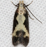 2125.97 Unidentified Chionodes Moth (could it be 2071_opt (1)