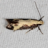 2125.97 Unidentified Chionodes Moth (could it be 2071_opt
