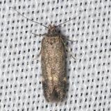 2198 Red-striped Fireworm Moth yard 8-6-12