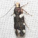 2204 Redbud Leaffolder Moth Leslie Angel's house Tenn 8-24-12